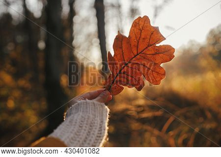 Beautiful Autumn Leaf In Woman Hand In Evening Sunlight. Autumnal Background. Woman In Cozy Sweater
