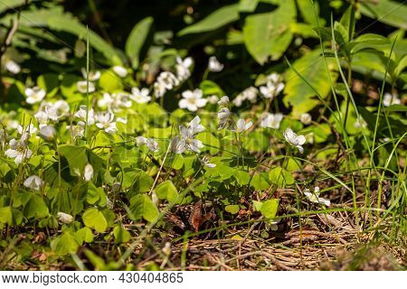 Bunch Of White Wood Sorrel Flowers (oxalis Acetosella) Bloom In Forest Floor Near Rhododendrons. Eat