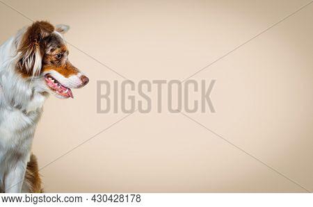 Head shot of a Red merle australian shepherd dog, Side view