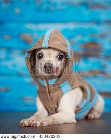 cute chihuahua with a hoodie on in a studio