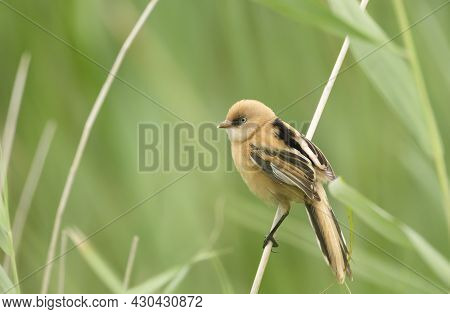Close-up Of A Perched Young Bearded Tit, Uk.