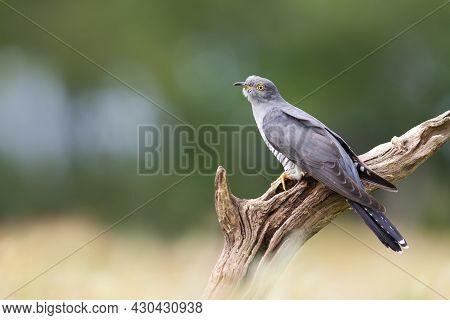 Close Up Of A Common Cuckoo Perched On A Tree Branch, Uk.