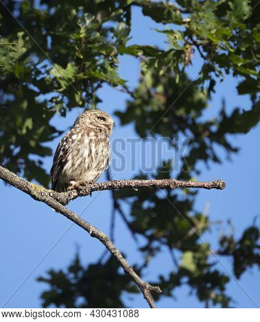 Close Up Of A Little Owl (athene Noctua) Perched On A Tree Branch In Summer, United Kingdom.