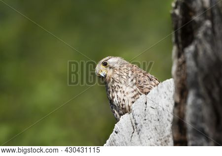 Close Up Of A Common Kestrel Perched On A Tree Trunk, United Kingdom.