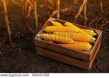 Peeled Maize Cobs In Wooden Crate At Corn Field Sunset Summer Time Somewhere In Ukraine