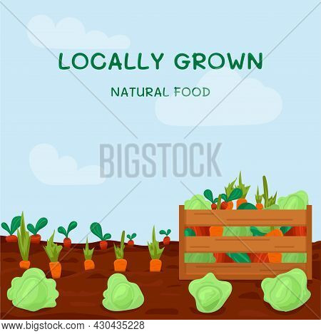 Kitchen-garden With Plenty Of Vegetables And With Wooden Box Full Of Fresh Vegetable. Vector Illustr