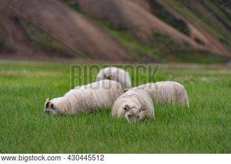 Healthy And Free Range Merino Sheep Nibbles The Grass On Green Field. Concept Of Countryside Farm Wi