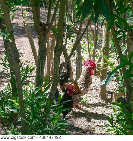American Rooster In The Garden Of The Nations Park In Torrevieja. Alicante, On The Costa Blanca. Spa