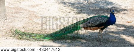 Peacock In The Garden Of Nations Park In Torrevieja. Alicante On The Costa Blanca. Spain. Europe.