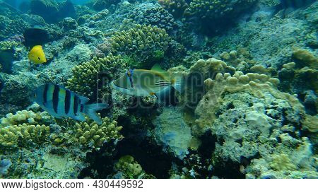 Assasi Triggerfish Or Arabian Picassofish (rhinecanthus Assasi) And Sergeant Major Or Indo-pacific S