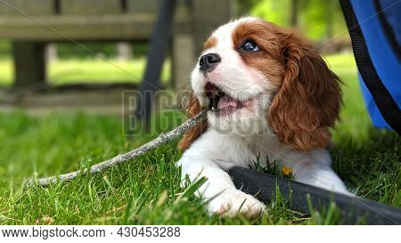 King Charles Cavalier Spaniel Puppy Laying In Grass Chewing On A Stick