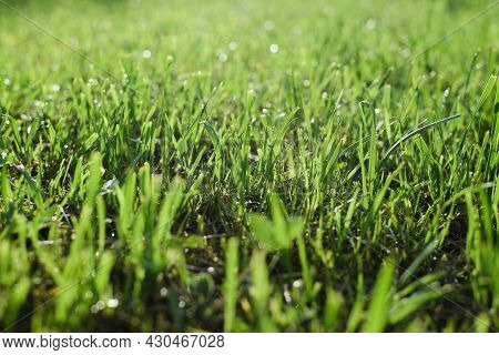 Bright Saturated Green Grass, Wet Lawn In Late Weather After Rain. Low Angle View, Natural Backdrop,