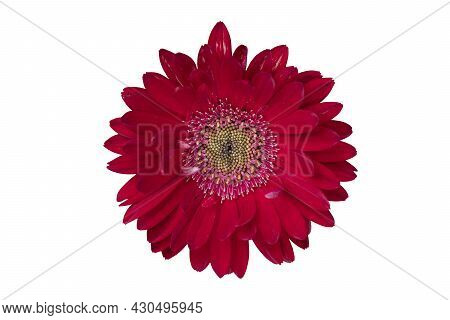 Top View Colorful Red Gerbera Flower Or Barberton Daisy Blooming. Close-up On Pollen. On Isolated Wh