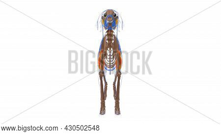 Triceps Brachii R Muscle Dog Muscle Anatomy For Medical Concept 3d Illustration