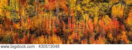 Panoramic view of colorful Aspen and cotton wood trees during autumn time in San Juan mountains , Colorado