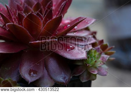 Sempervivum (sempervivum) Is A Rosette Herbaceous Perennial Flower From The Tolstyankov Family With