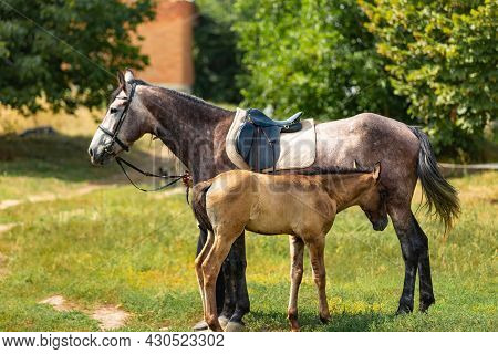 Pretty Foal Standing With His Mother Horse And Bonding To Her Outside. Little Cade Standing In A Pad