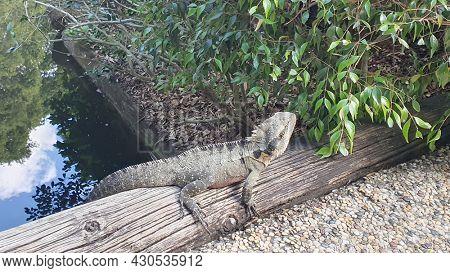 Australian Eastern Water Dragon,  Mt Cootha Botanical Gardens, Brisbane Australia