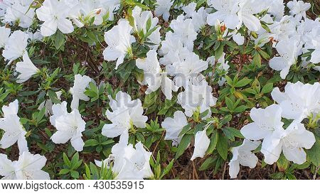White Azaleas, Mt Cootha Botanical Gardens, Brisbane Australia