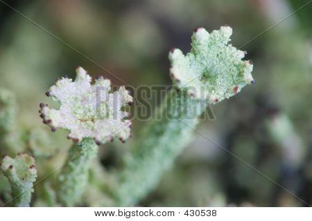 Two Lichens [#2005-6]