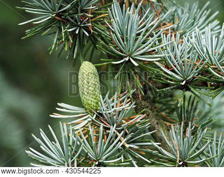 Little Cone On A Blue Atlas Cedar Tree