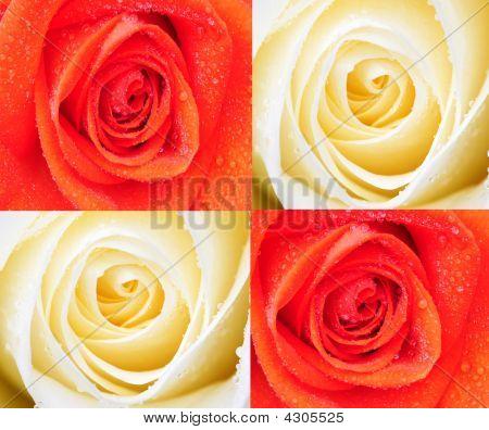 shot of pretty orange and cream roses poster