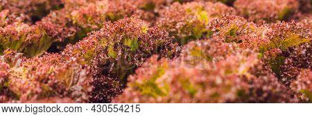 Red Coral Salad, Salad Organic Hydroponic Farm, Red Leaf Lettuce, Red Oak. Fresh Red Oak Lettuce Ban