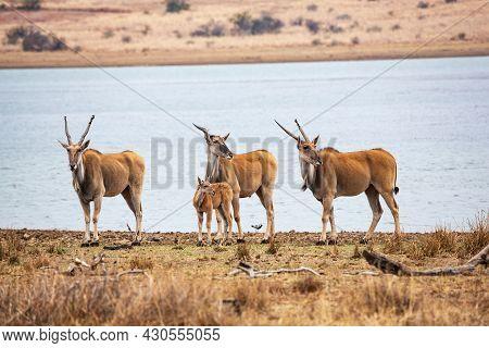A Group Of Common Eland Antilopes Taurotragus Oryx At Mankwe Dam, Pilanesberg National Park, South A