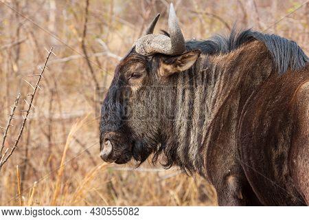 Portrait Of Blue Wildebeest Connochaetes Taurinus At Pilanesberg National Park, South Africa