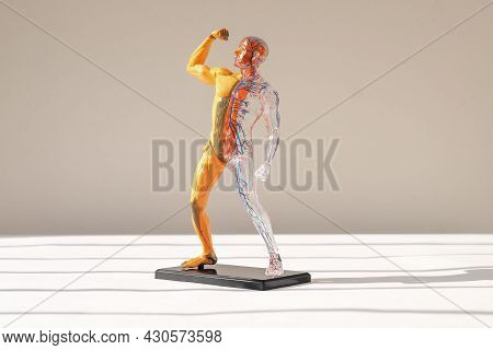 Human Body 3d Model Without Skin With Muscular And Circulatory Systems. Anatomical Structure.