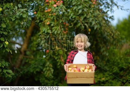 Little Boy Picking Apples In Orchard. Child Holding Wooden Box With Harvest. Harvesting In The Domes