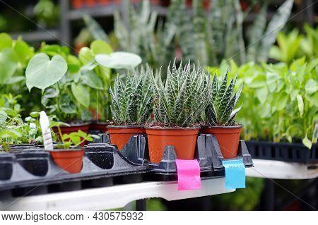 Plants In Garden Center. Sale Of Varietal Seedlings Of Herbs, Flowers In Pots. Sansevieria Trifascia
