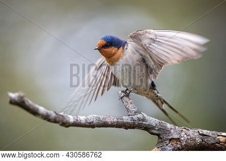 Close-up Portrait Photo Of A Wild Barn Swallow Perched On A Branch Taken In Loongana, Tasmania, Aust