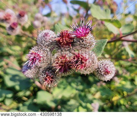 Burdock Blooms. A Large Herbaceous Old World Plant Of The Chamomile Family. Woolly Burdock Or Fluffy