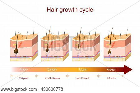Hair Growth Cycle From Anagen To Catagen, And Telogen. Poster About Hair Growth Phase For Education