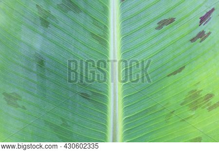 Banana Tree Leaf Texture - Dwarf Cavendish Leaf Close Up With Red Color As Well.