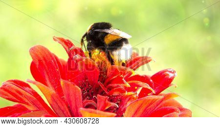 Bumblebee Pollinates A Blooming Red Dahlia Flower, On A Green Background, Blurred