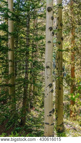 Aspen And Spruce Trees In The Meadow Along South Chicago Creek And Hefferman Gulch Road Near Echo La