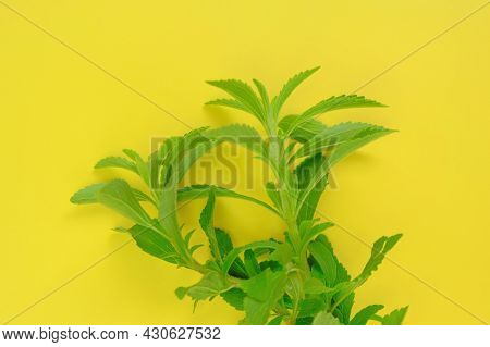 Stevia Rebaudiana. Green Branches Of Stevia On Bright Yellow Background.stevia Plant.alternative Low