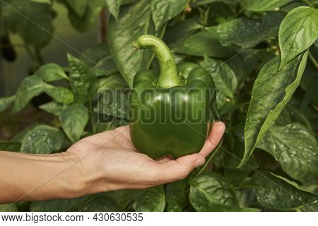 Eggplant Growing In Greenhouse. Eggplant Plant In The Garden. Greenhouse With Aubergine Vegetable, C