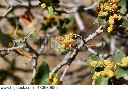 Red Yellow Axillary Indeterminate Staminate Catkin Inflorescences Of Desert Scrub Oak, Quercus Corne