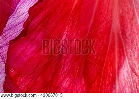 Red Plant Natural Background Of Hibiscus Flower Petals Syrian Rose Close-up Macro Photography