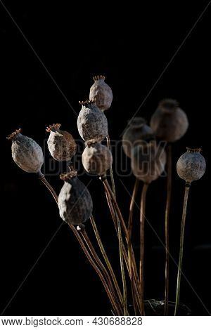 Bunch Dried Poppy Seed Pods On Stems On A Black Background