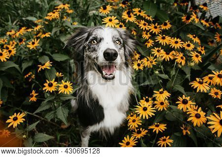 Happy Border Collie Dog In Flowers On Spring Season.