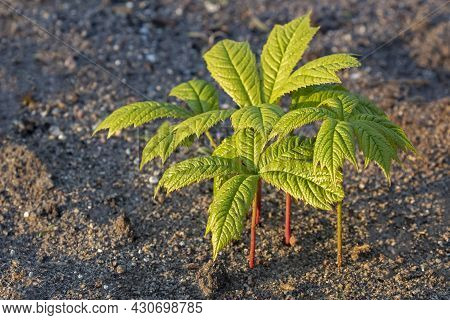 Rodgersia Podophylla,  Native To Japan And Korea, Is A Herbaceous Perennial With Handsome Spiky Leav