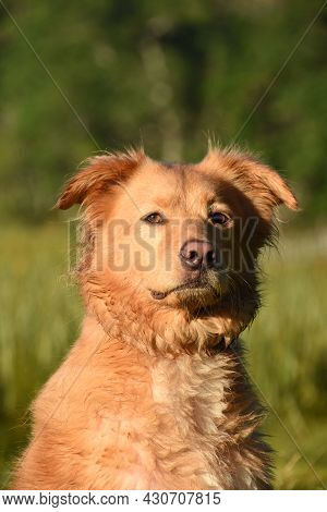 Cute Pink Nose On A Duck Tolling Retriever Dog Sitting Outdoors.