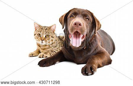 Labrador Dog And Cat Scottish Straight Lying Together Isolated On White Background