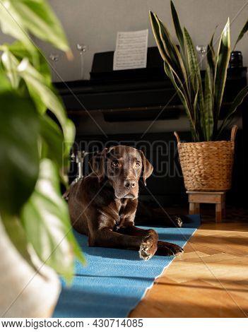 Chocolate Labrador Pedigree Dog Lying On The Mat At Home, Beautiful Calm Dog At