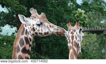 Detail Of The Faces Of Giraffes That Follow Each Other