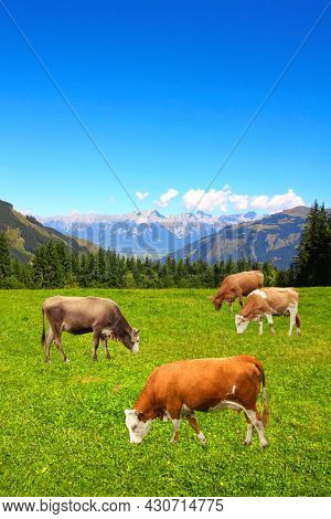 Four cows grazing in a mountain meadow in Alps mountains, Tirol, Austria. View of idyllic mountain scenery in Alps with green grass and red cows on sunny day. European mountain landscape